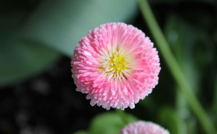 English Daisy, Hybrid